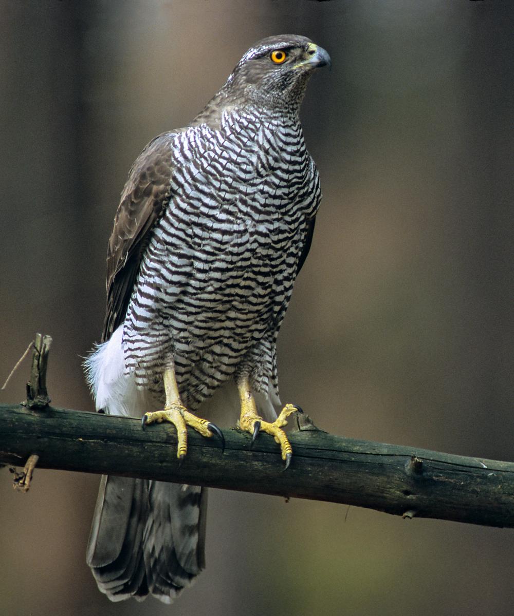 Accipiter gentilis; Habicht; greifvögel; vögel; weibchen