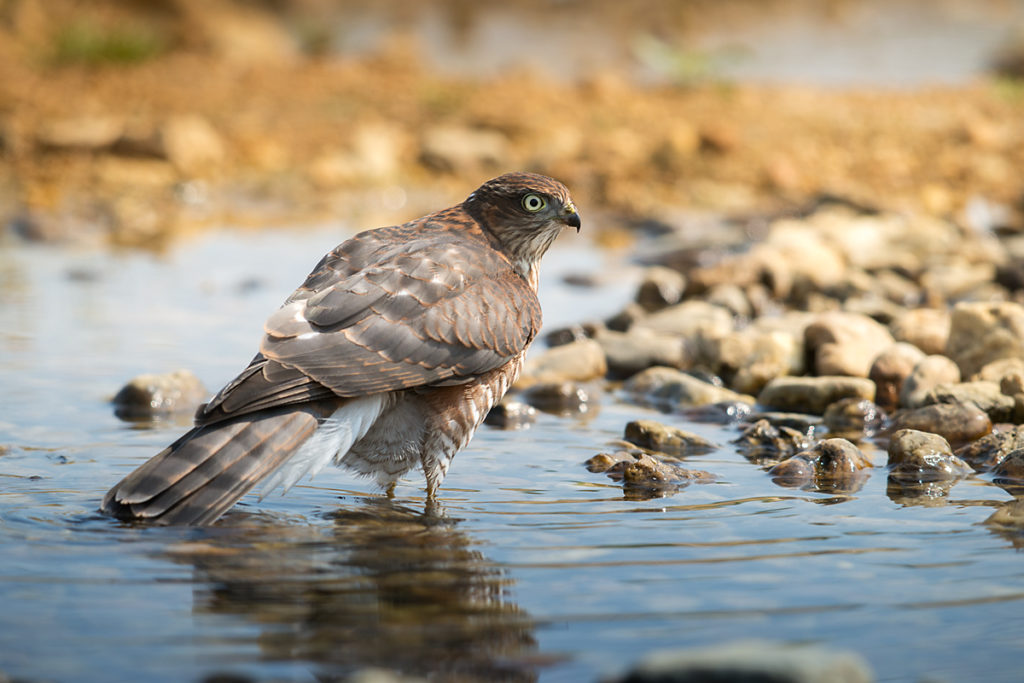 Sperber, Accipiter nisus, Sparrowhawk, vögel, birds, greifvögel, Accipitriformes, raptors, vogelbad, vogeltränke, badender sperber