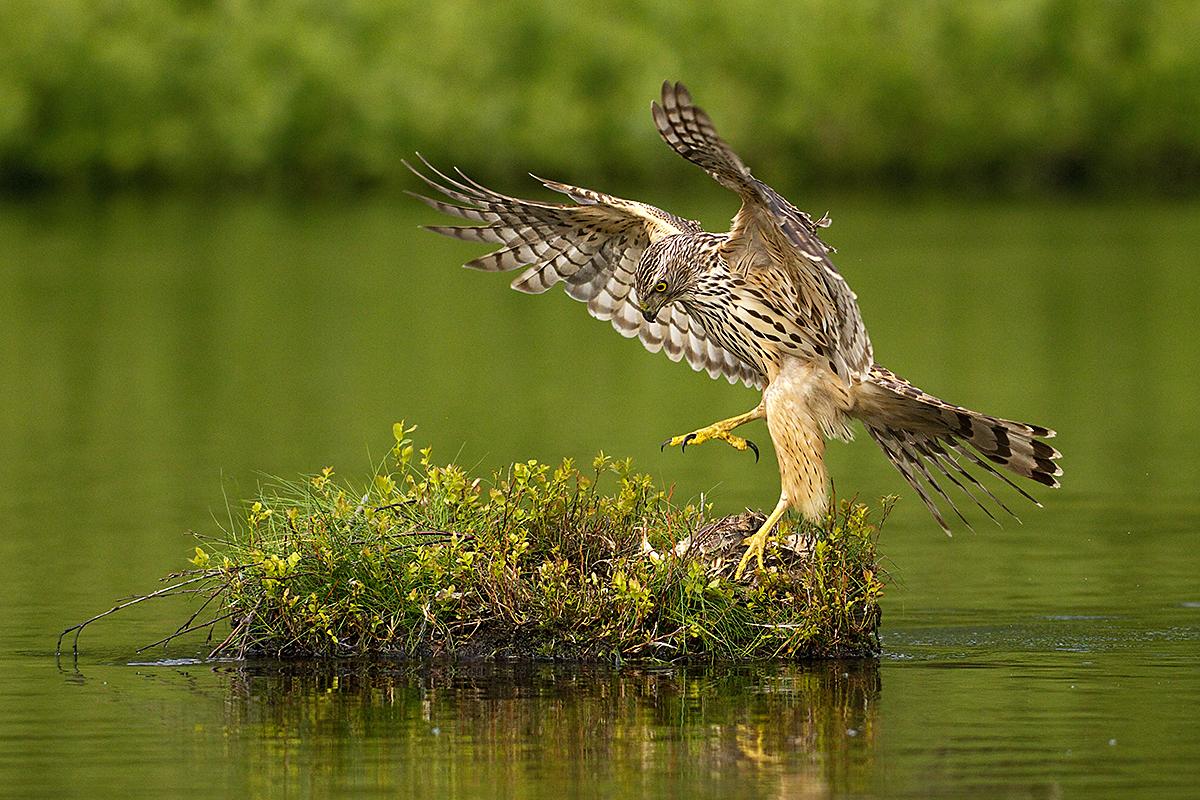 Habicht, Accipiter gentilis, Goshawk, greifvögel, Accipitriformes, raptors, vögel, birds, jungvogel, juvenil