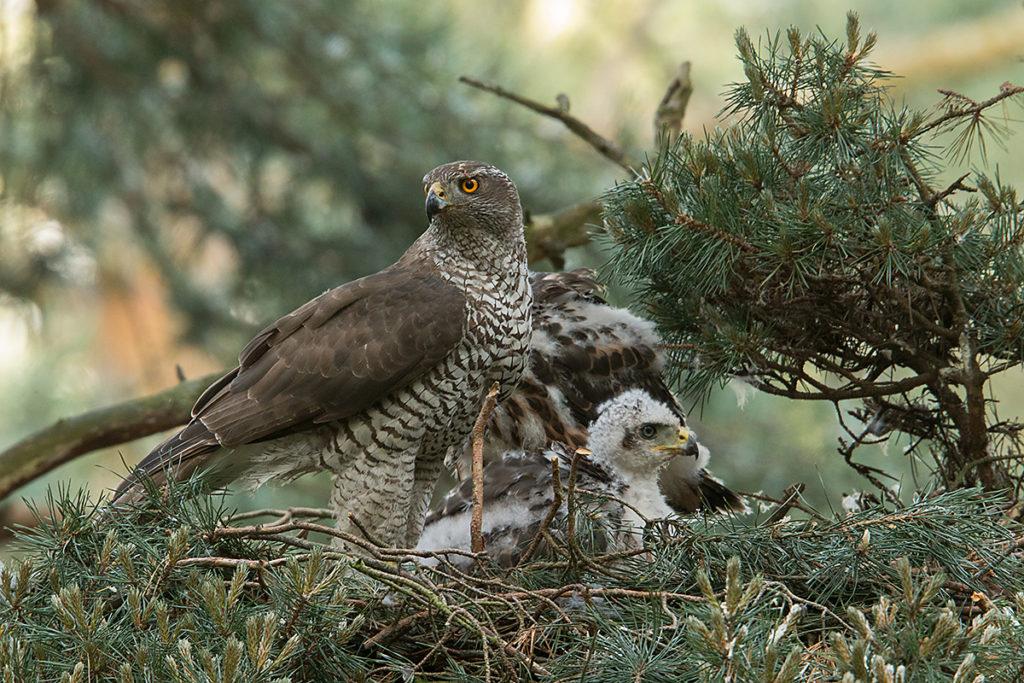 Habicht, Accipiter gentilis, Goshawk, greifvögel, Accipitriformes, raptors, vögel, birds, nest, horst