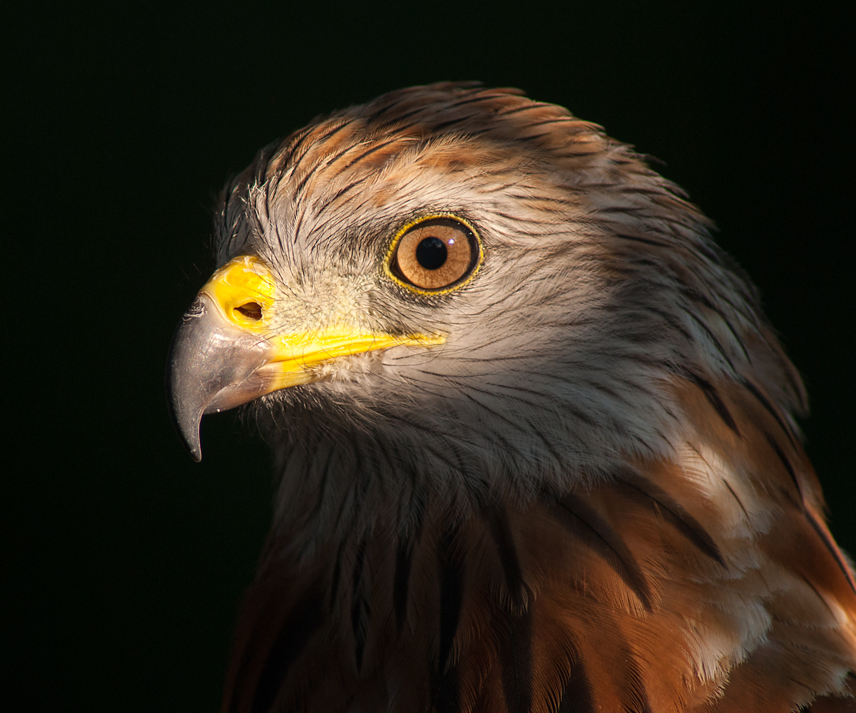 Roter Milan, Rotmilan, Milvus milvus, Red Kite, greifvögel, Accipitriformes, raptors, vögel, birds