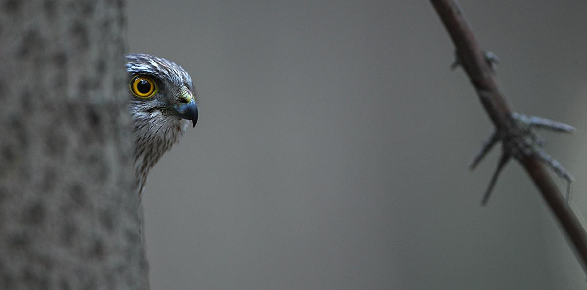 Sperber, Accipiter nisus, Sparrowhawk, vögel, birds, greifvögel, Accipitriformes, raptors