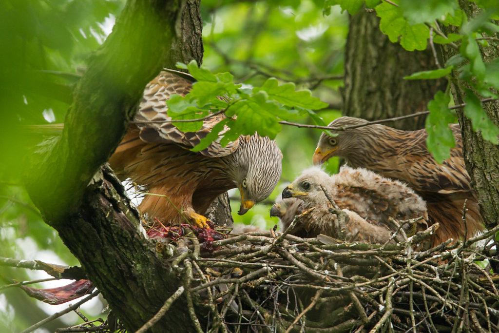 Roter Milan, Rotmilan, Milvus milvus, Red Kite, greifvögel, Accipitriformes, raptors, vögel, birds, nest, horst, brut, jungvögel