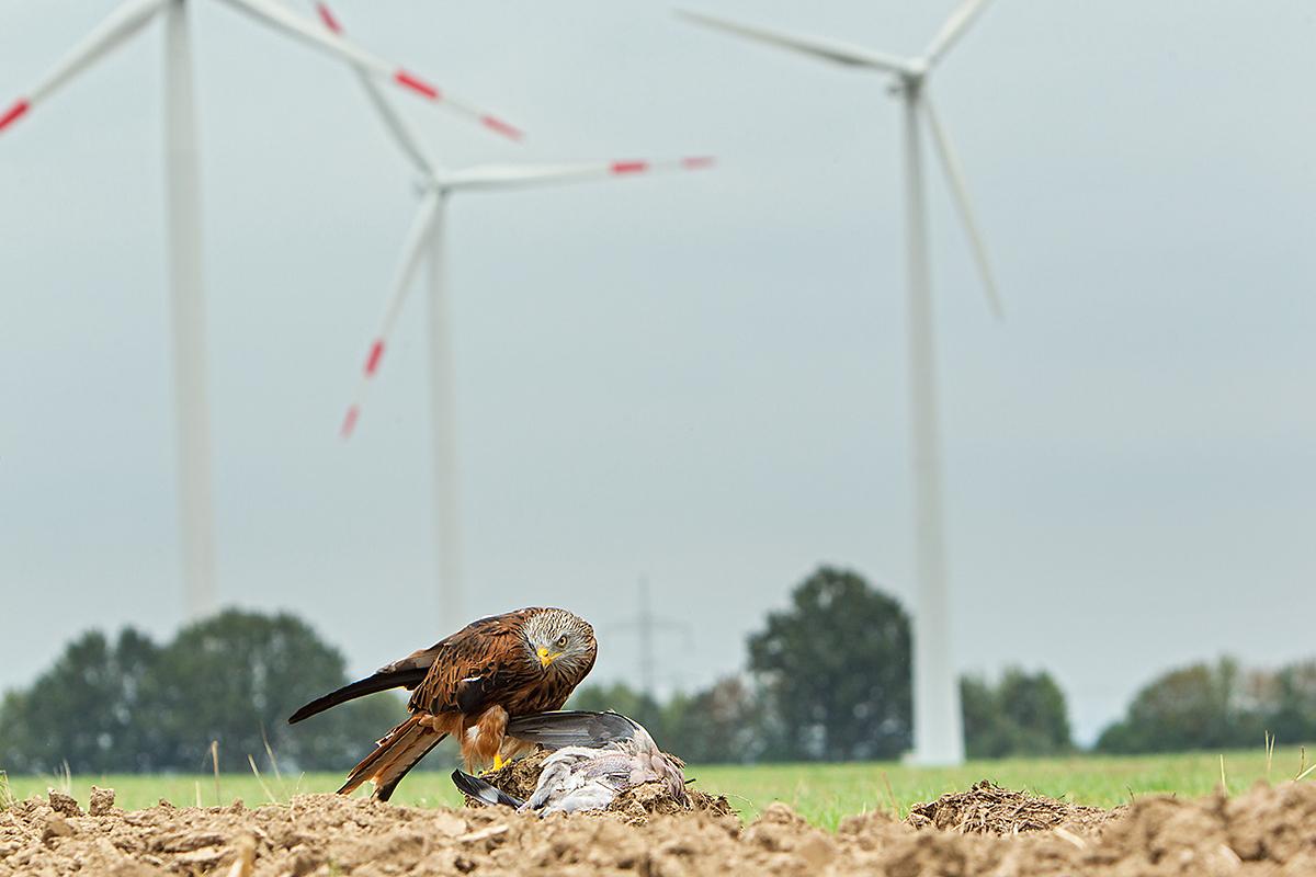 Roter Milan, Rotmilan, Milvus milvus, Red Kite, greifvögel, Accipitriformes, raptors, vögel, birds, windkraft, windrad