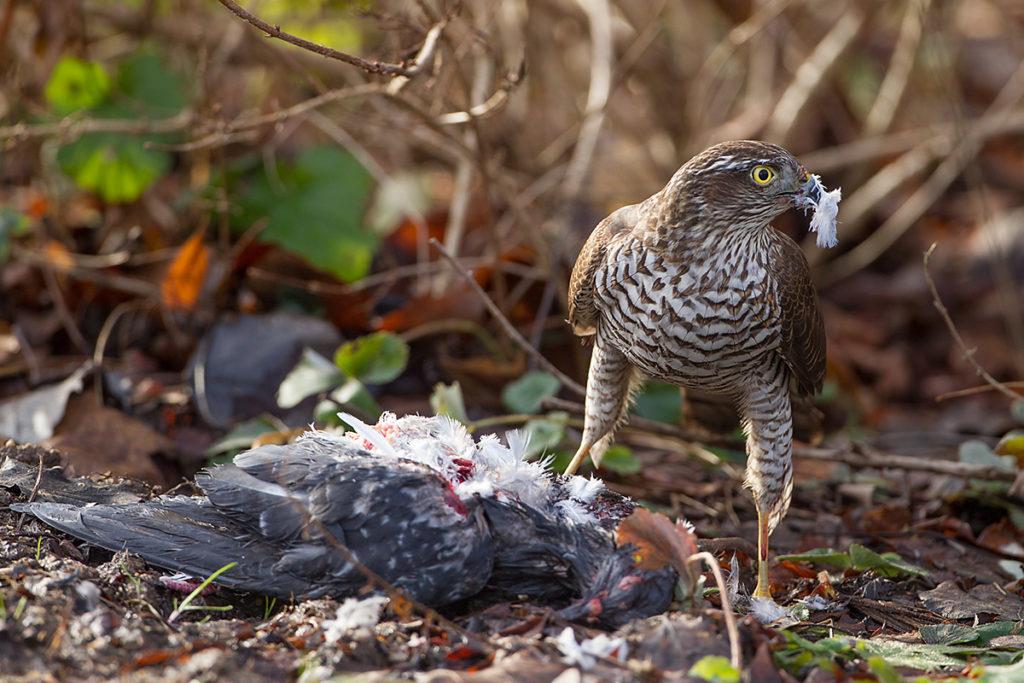 Sperber, Accipiter nisus, Sparrowhawk, vögel, birds, greifvögel, Accipitriformes, raptors, jagd, beute, taube