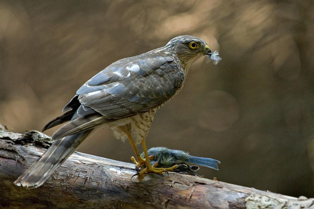 Sperber, Accipiter nisus, Sparrowhawk, vögel, birds, greifvögel, Accipitriformes, raptors, jagd, beute, blaumeise