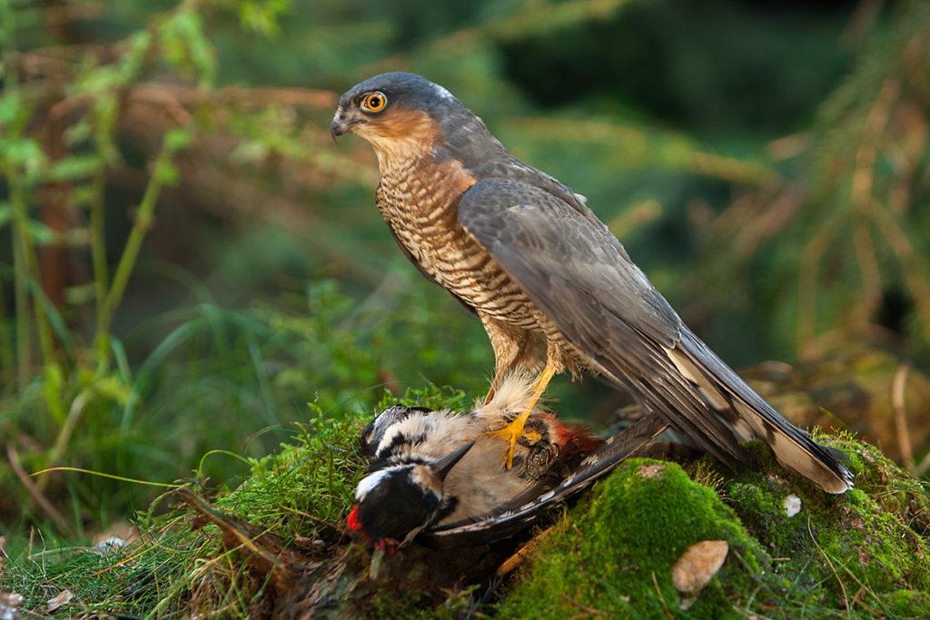 Sperber, Accipiter nisus, Sparrowhawk, vögel, birds, greifvögel, Accipitriformes, raptors, jagd, beute, buntspecht