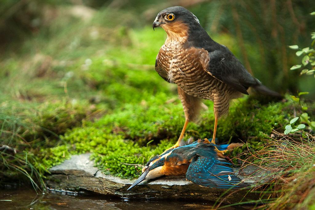 Sperber, Accipiter nisus, Sparrowhawk, vögel, birds, greifvögel, Accipitriformes, raptors, jagd, beute, eisvogel