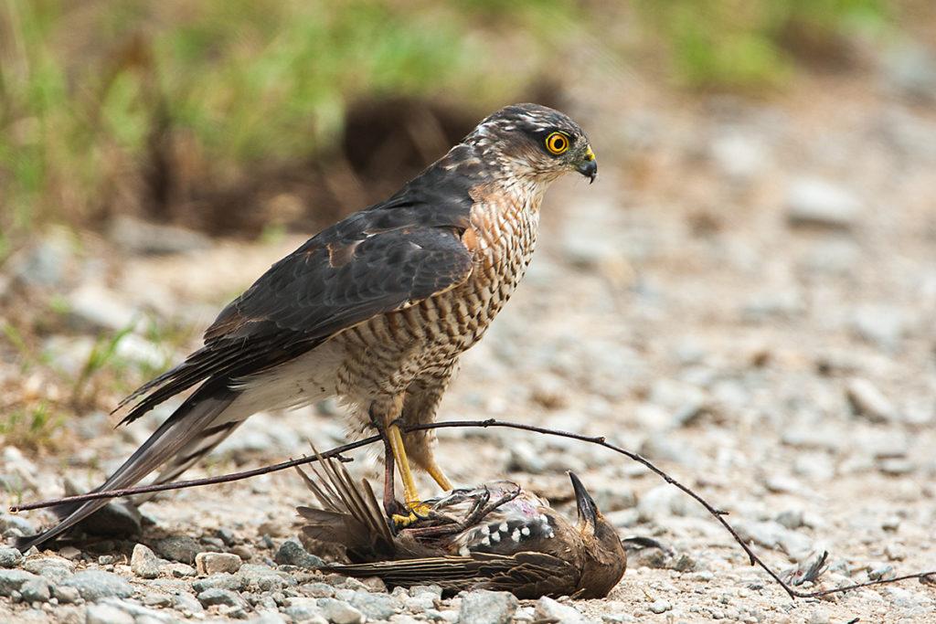 Sperber, Accipiter nisus, Sparrowhawk, vögel, birds, greifvögel, Accipitriformes, raptors, jagd, beute, star