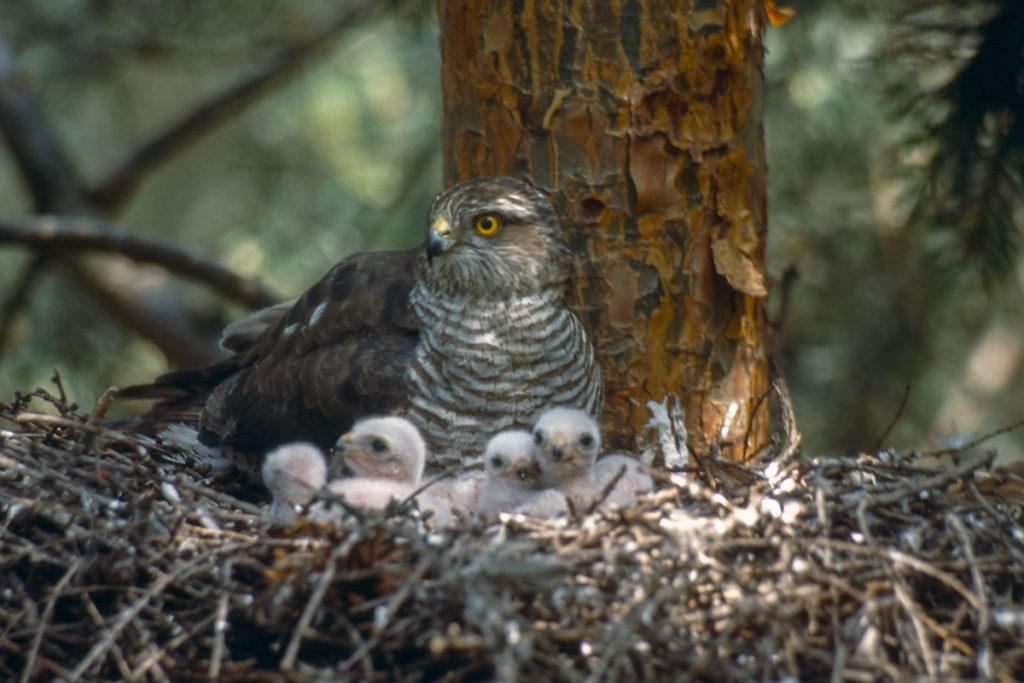Sperber, Accipiter nisus, Sparrowhawk, vögel, birds, greifvögel, Accipitriformes, raptors, nest, brut