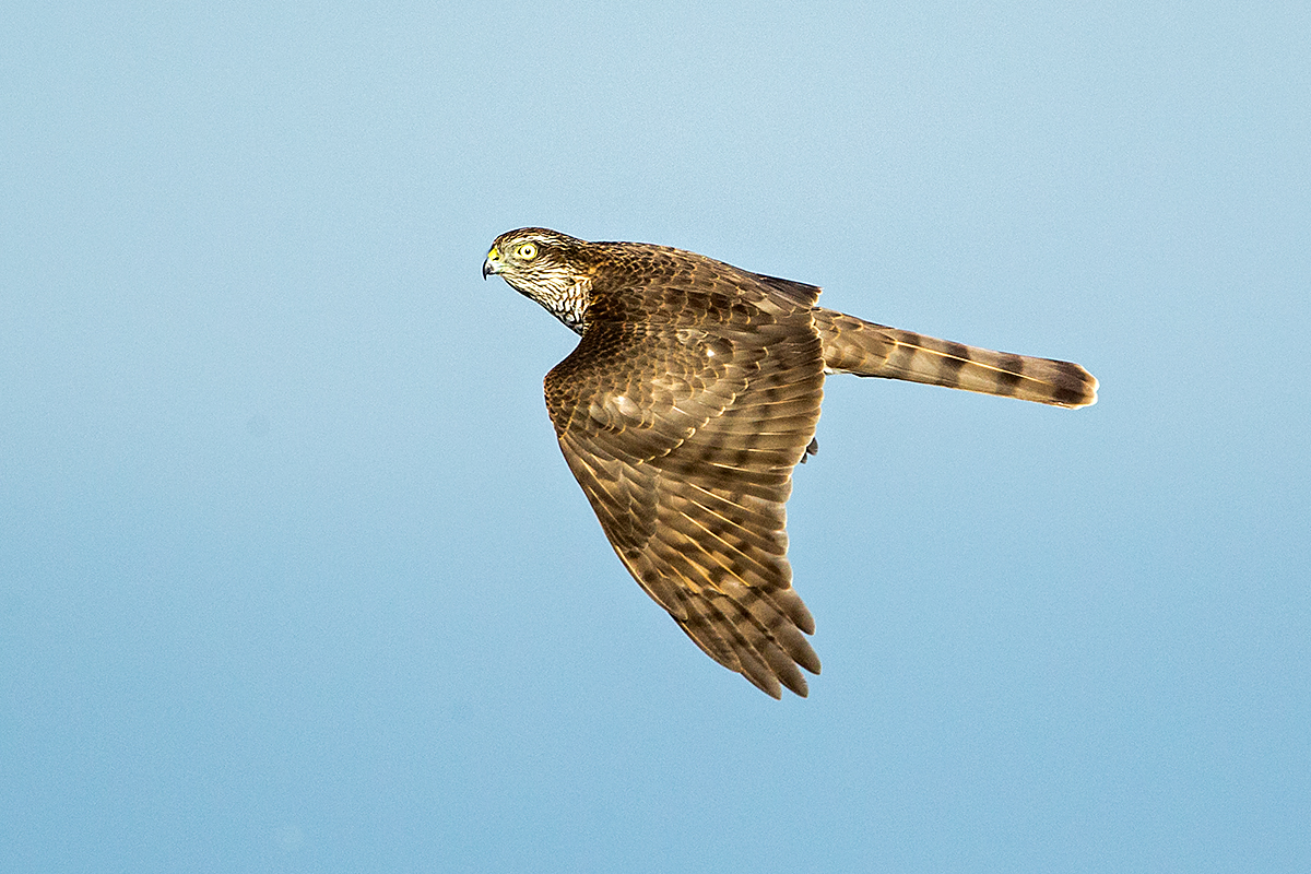 Sperber, Accipiter nisus, Sparrowhawk, vögel, birds, greifvögel, Accipitriformes, raptors, flugbild, oberseite