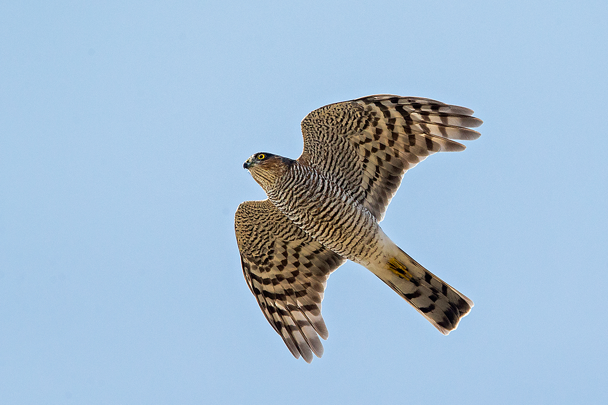 Sperber, Accipiter nisus, Sparrowhawk, vögel, birds, greifvögel, Accipitriformes, raptors, flugbild, unterseite
