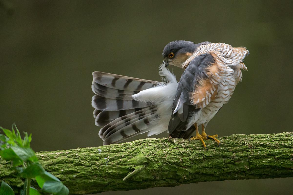 Sperber, Accipiter nisus, Sparrowhawk, vögel, birds, greifvögel, Accipitriformes, raptors, männchen, gefiederpflege