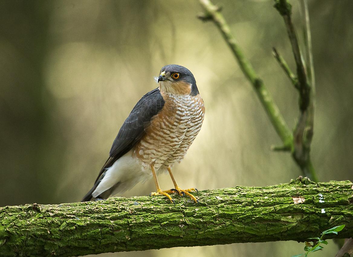 Sperber, Accipiter nisus, Sparrowhawk, vögel, birds, greifvögel, Accipitriformes, raptors, männchen