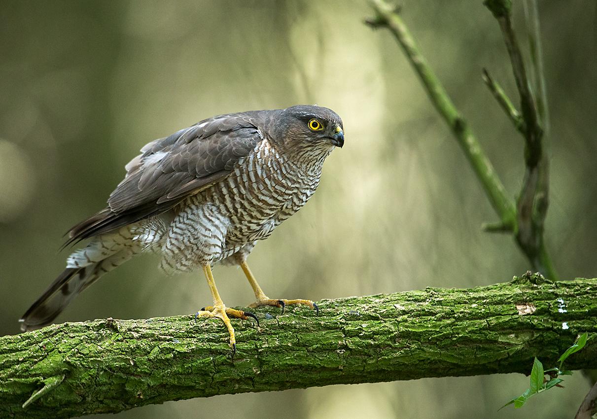 Sperber, Accipiter nisus, Sparrowhawk, vögel, birds, greifvögel, Accipitriformes, raptors, weibchen