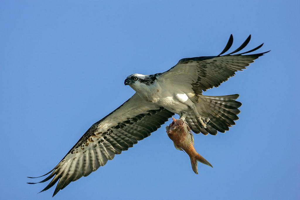 Fischadler; Pandion haliaetus; flug; greifvögel; pröhl