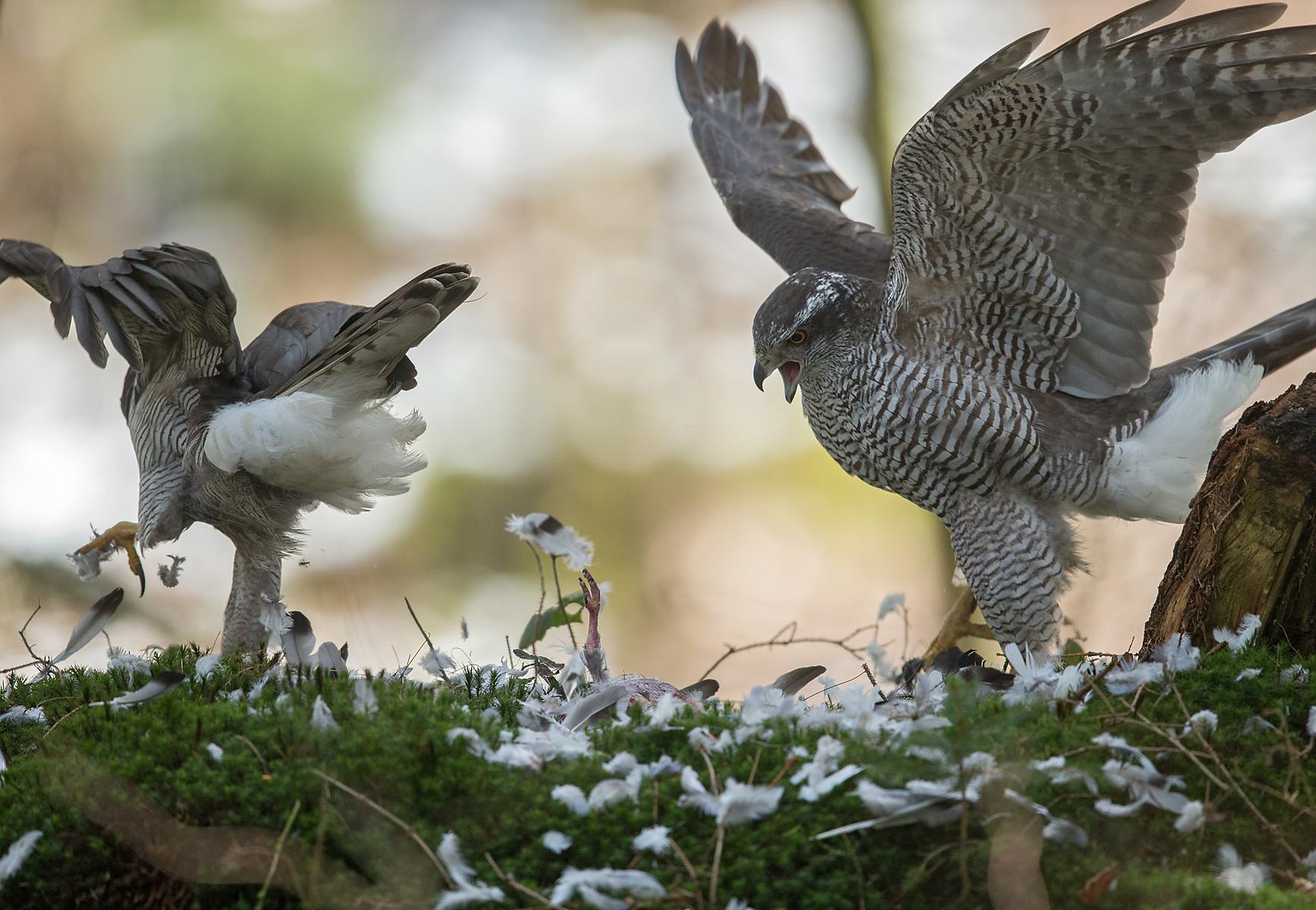 Accipiter gentilis; Goshawk; Habicht; beuteübergabe; birds; falconiformes; female; greifvögel; male; männchen; pröhl; raptors; vögel; weibchen