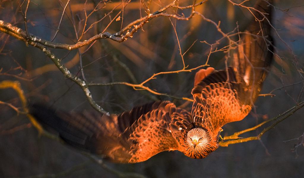 Accipitriformes; Milvus milvus; Red Kite; Roter Milan; Rotmilan; birds; falconiformes; flight; flug; greifvögel; pröhl; raptors; vögel