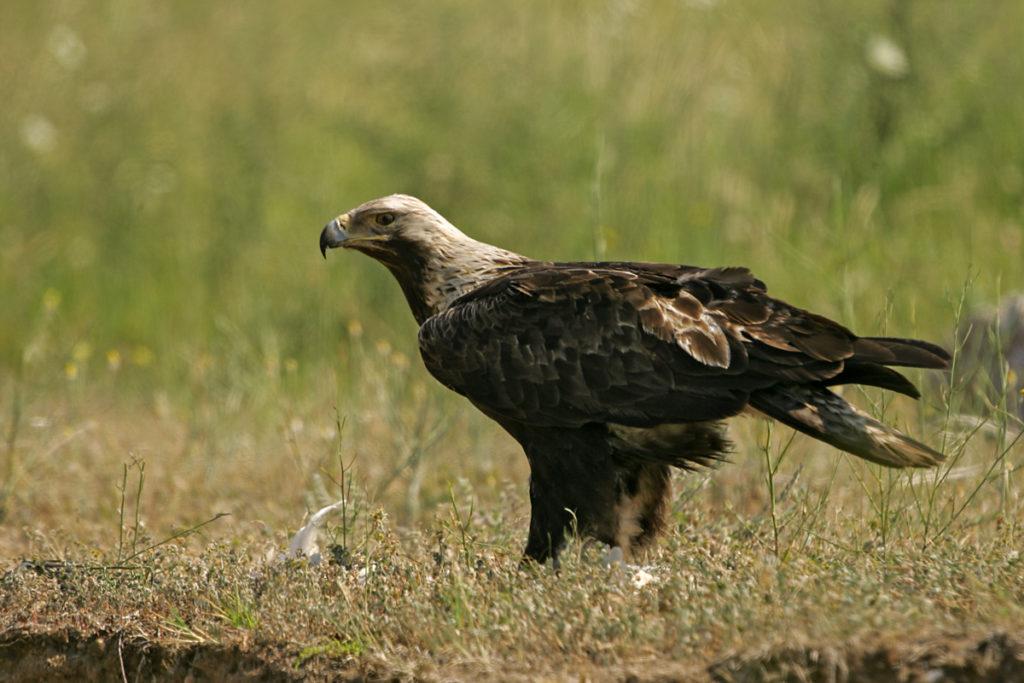 Aquila heliaca; Kaiseradler; bulgarien; greifvögel