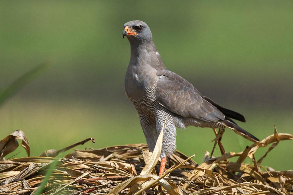 Dark Chanting-Goshawk; Ethiopia; Graubürzel-Singhabicht; Melierax metabates; ad.; birds; falconiformes; greifvögel; pröhl; raptors; singhabicht; vögel