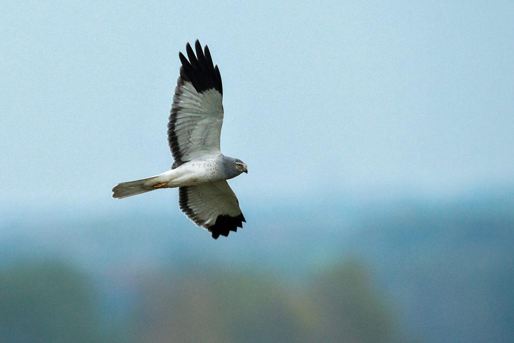 Accipitriformes; Circus cyaneus; Hen Harrier; Kornweihe; ad.; adult; birds; flight; flug; greifvögel; male; männchen; pröhl; raptors; vögel