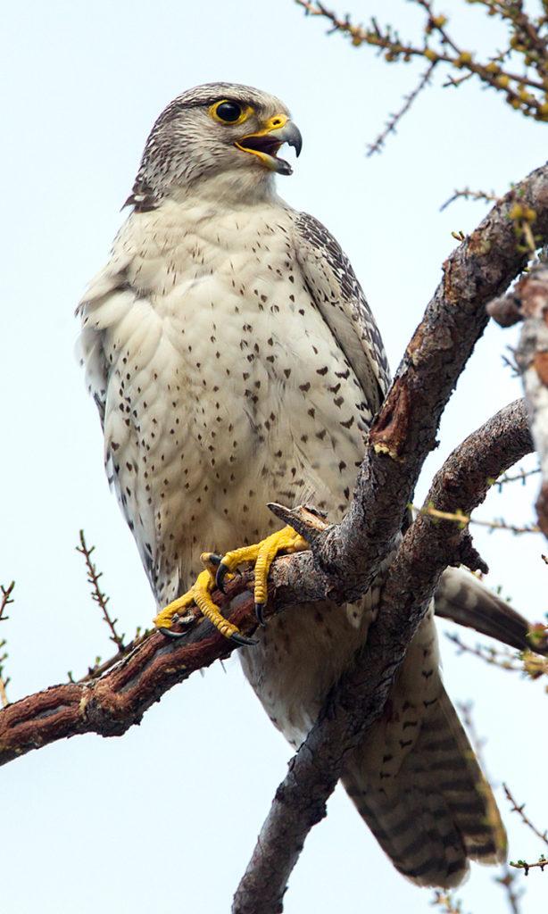 Falco rusticolus; Gerfalke; Gyrfalcon