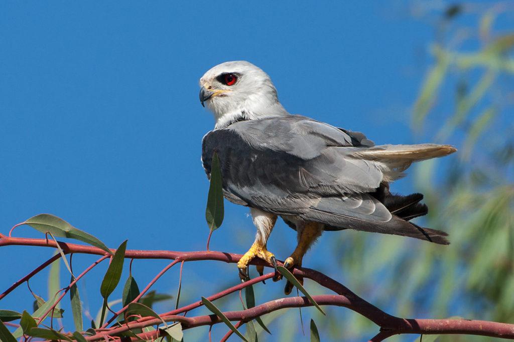 Black-shouldered Kite; Elanus caeruleus; Gleitaar; birds; falconiformes; greifvögel; pröhl; raptors; vöge