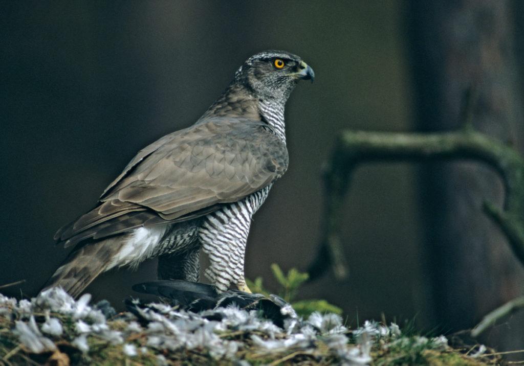 Accipiter gentilis; Habicht; beute; greifvögel; leo; vögel; weibchen