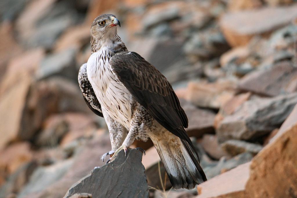 Aquila fasciata; Bonelli`s Eagle; Habichtsadler; adler; birds; eagle; falconiformes; greifvögel; marokko; pröhl; raptors; vögel