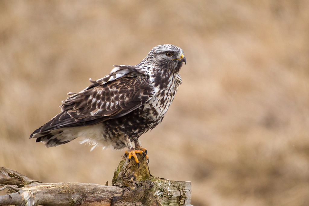 Buteo lagopus; Rauhfußbussard; Rough-legged Buzzard; ad.; birds; falconiformes; greifvögel; male; männchen; pröhl; raptors; vögel