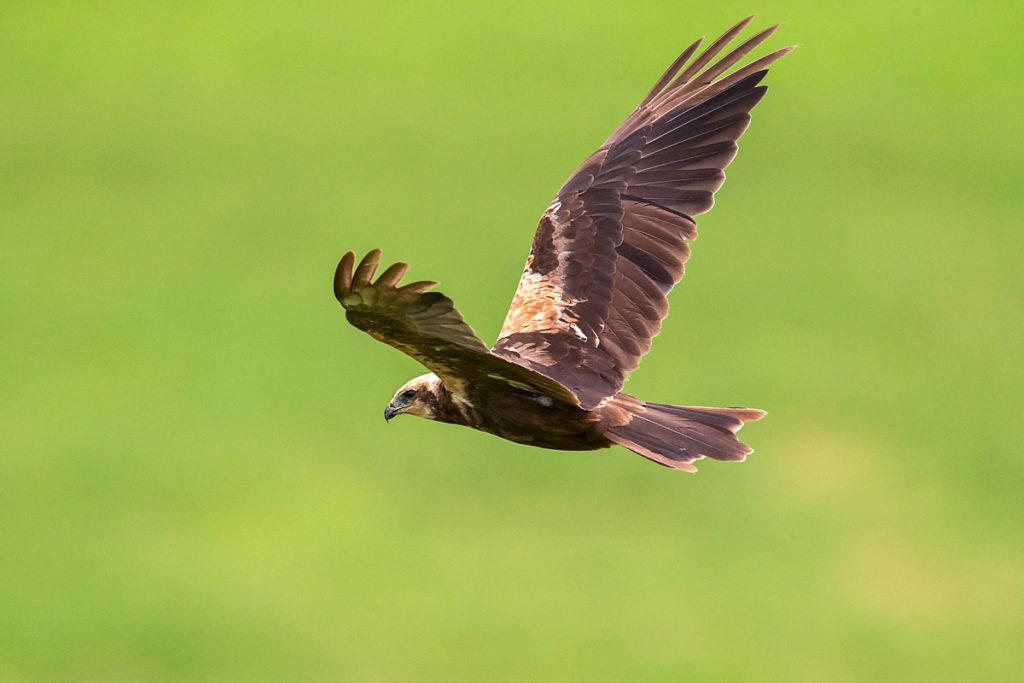 Circus aeruginosus; Marsh Harrier; Rohrweihe; birds; falconiformes; female; flight; flug; greifvögel; pröhl; raptors; vögel; weibchen