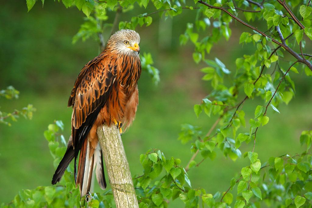Milvus milvus; Red Kite; Roter Milan; Rotmilan; birds; falconiformes; greifvögel; pröhl; raptors; vögel