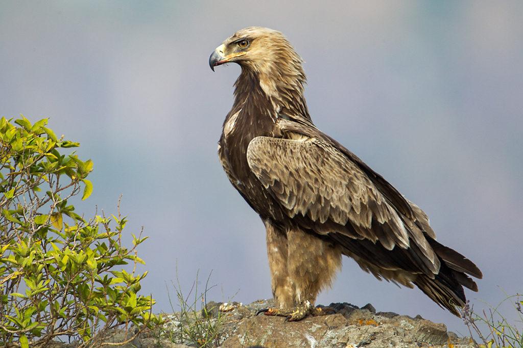 Aquila rapax; Ethiopia; Raubadler; Savannenadler; Tawny Eagle; adler; birds; eagle; falconiformes; greifvögel; pröhl; raptors; vögel