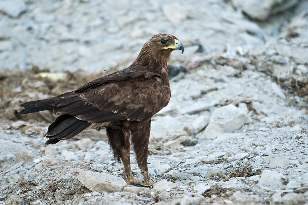 Aquila clanga; Oman; Schelladler; Spotted Eagle; ad.; adler; birds; eagle; falconiformes; greifvögel; pröhl; raptors; vögel