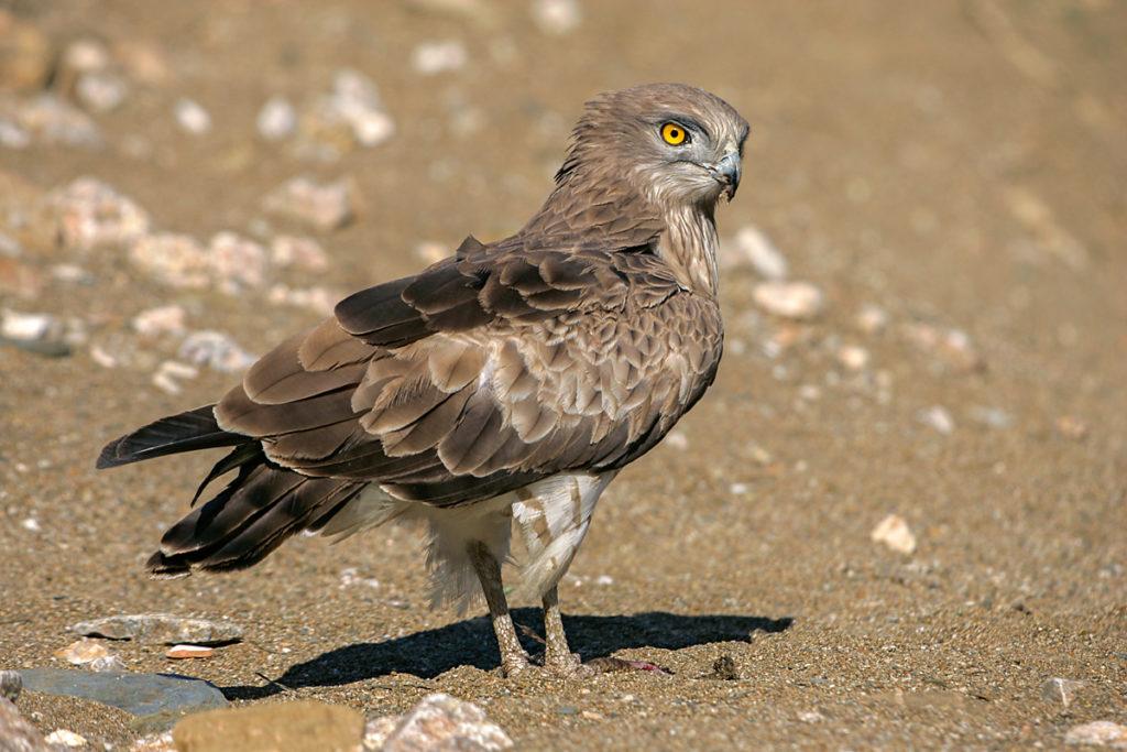 Circaetus gallicus; Schlangenadler; adler; extremadura; greifvögel; pröhl; spanien; vögel