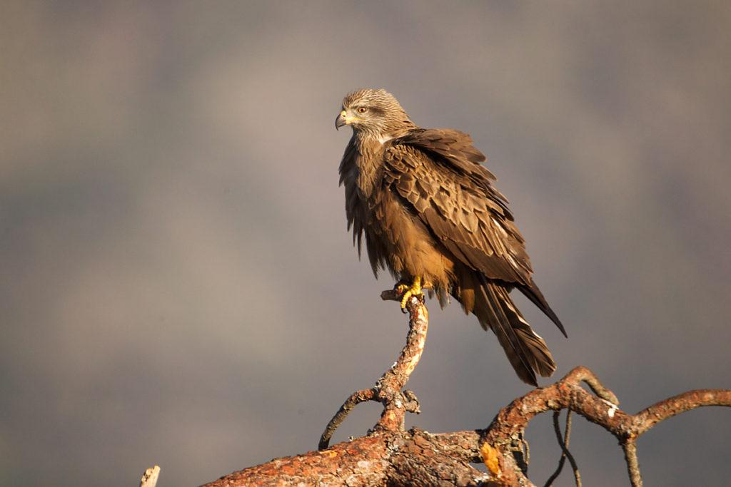 Avila; Black Kite; Milan; Milvus migrans; Schwarzer Milan; Schwarzmilan; Spain; birds; falconiformes; greifvögel; pröhl; raptors; spanien; vögel