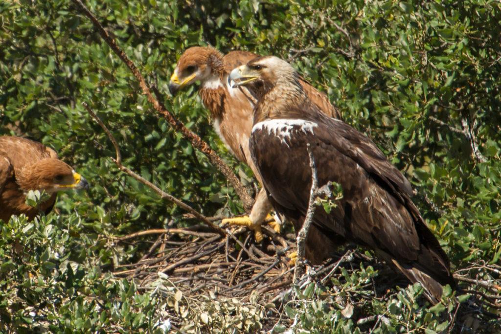 Adalbert's Eagle; Andalusien; Aquila adalberti; Iberian Imperial Eagle; Spain; Spanischer Kaiseradler; Spanish Imperial Eagle; birds; breed; brut; falconiformes; greifvögel; horst; nest; pröhl; raptors; spanien; vögel