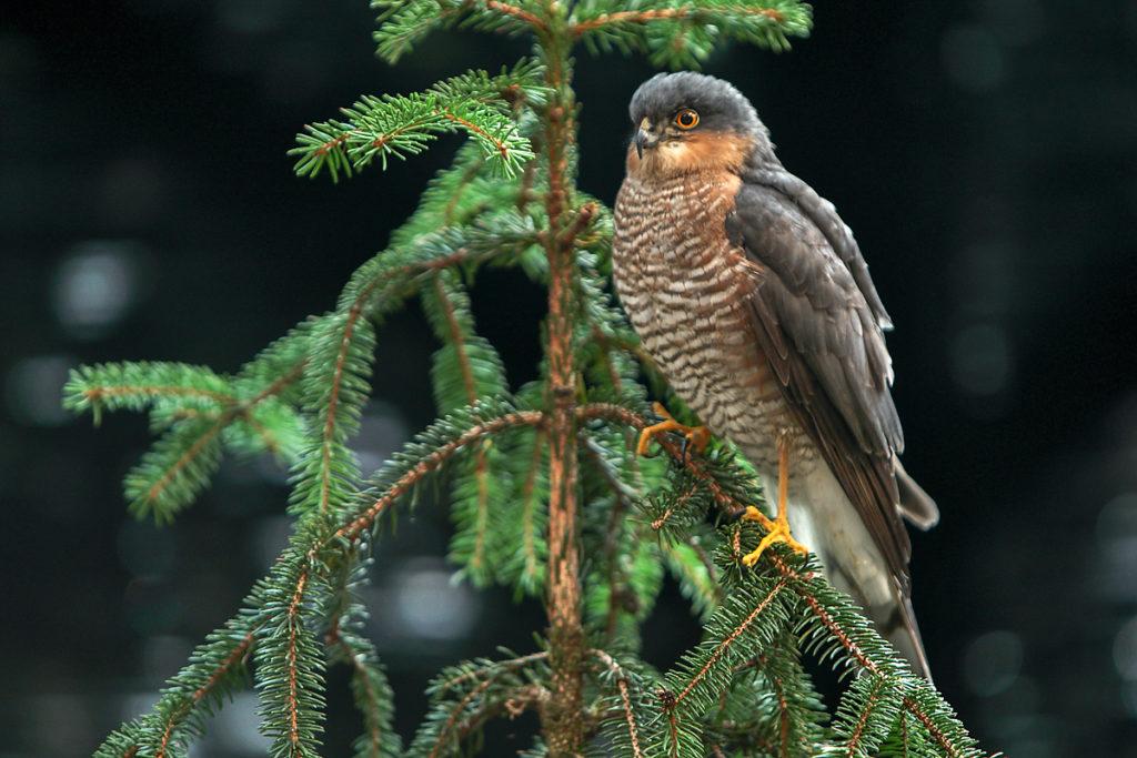 Accipiter nisus; Sparrowhawk; Sperber; ad.; birds; falconiformes; greifvögel; male; männchen; pröhl; raptors; vögel