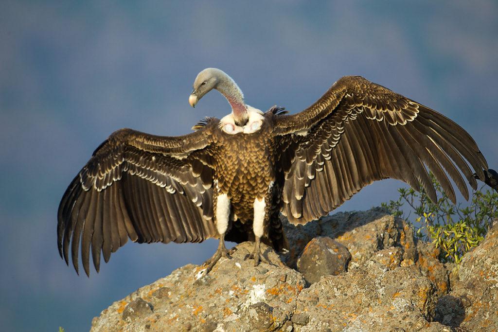 Gyps rueppellii, Sperbergeier, Rüppell`s Vulture, vögel, birds, greifvögel, raptors, geier, vulture, Accipitriformes