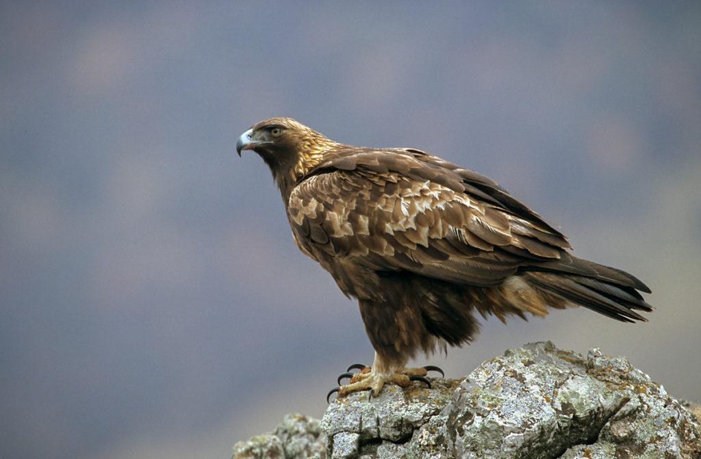 Aquila chrysaetos; Steinadler; bulgarien; greifvögel