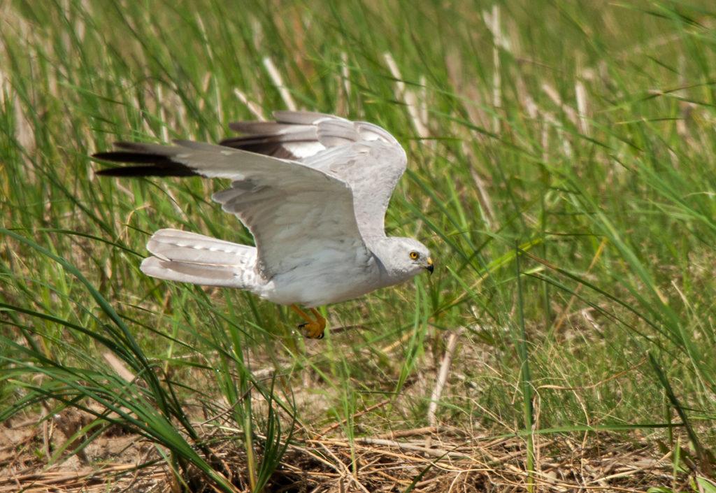 Circus macrourus; Kasachstan; Pallid Harrier; Steppenweihe; birds; falconiformes; flight; flug; greifvögel; male; männchen; pröhl; raptors; tränke; vögel