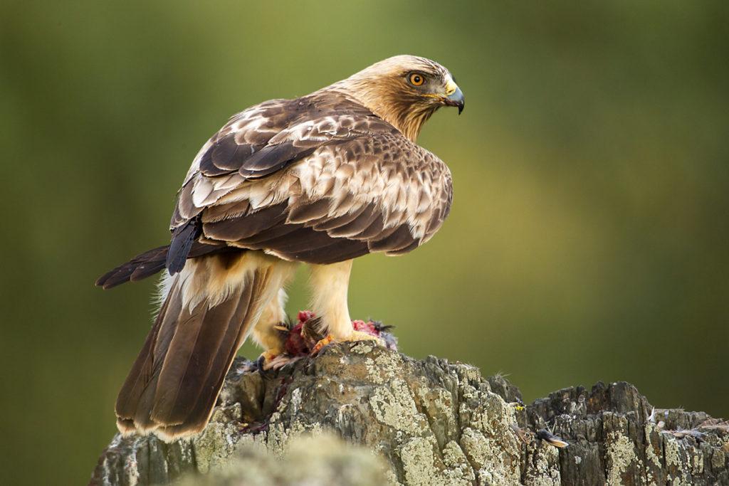 Aquila pennata; Booted Eagle; Hieraaetus pennatus; Spain; Zwergadler; adler; birds; eagle; extremadura; falconiformes; greifvögel; pröhl; raptors; spanien; vögel