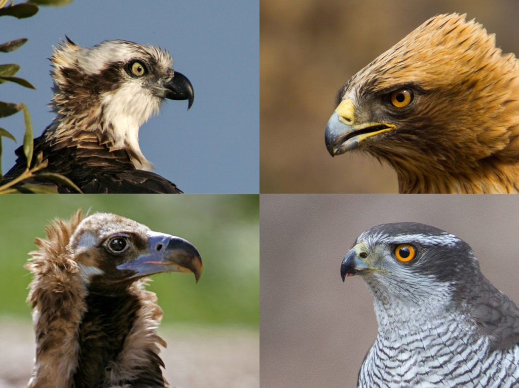 Accipitriformes; birds; greifvögel; raptors; vögel