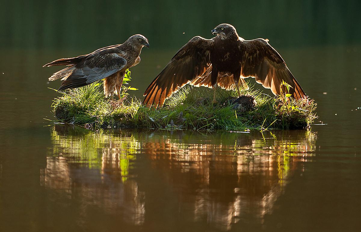 Circus aeroginosus; Marsh Harrier; Rohrweihe; beuteübergabe; birds; falconiformes; female; greifvögel; male; mirror; männchen; pröhl; raptors; spiegelbild; vögel; weibchen