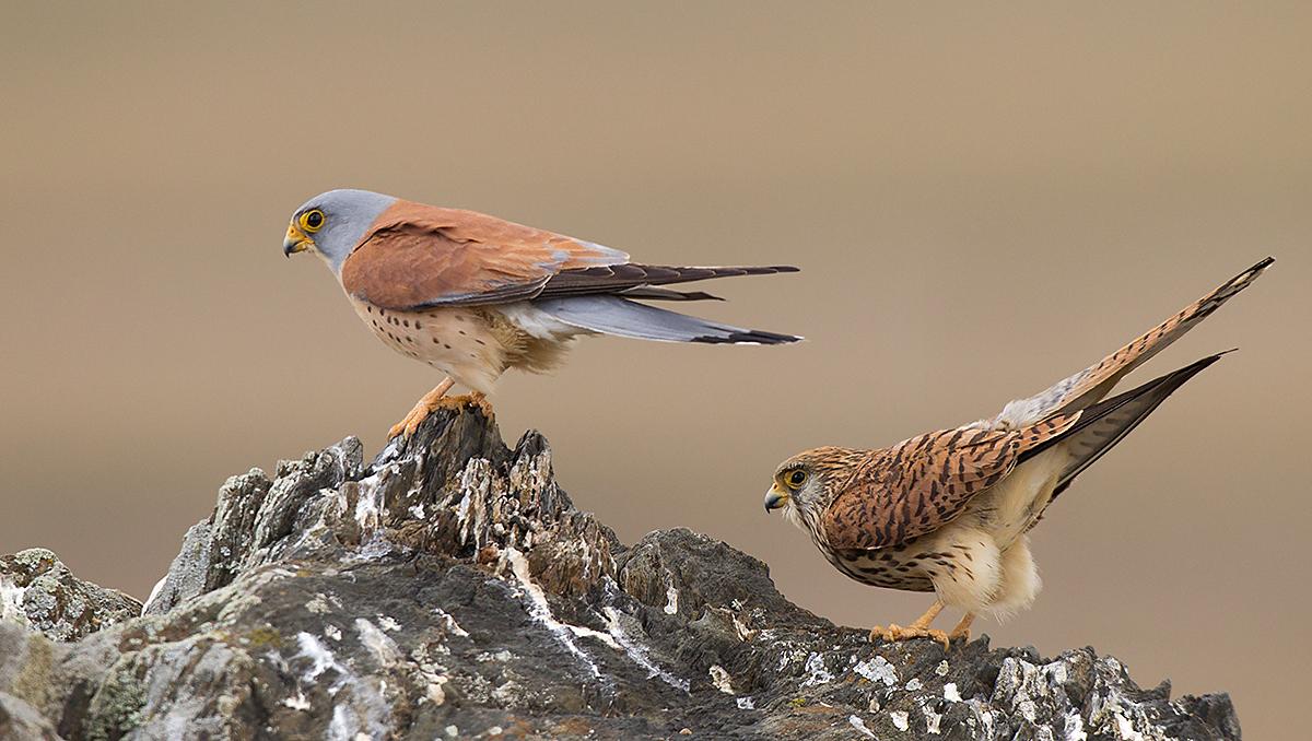 Falco naumanni; Lesser Kestrel; Rötelfalke; Spain; birds; falconiformes; female; greifvögel; hochforma; male; männchen; pröhl; raptors; spanien; vögel; weibchen