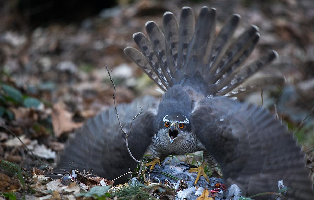 Accipiter gentilis; Accipitriformes; Goshawk; Habicht; adult; birds; greifvögel; male; männchen; pröhl; raptors; vögel