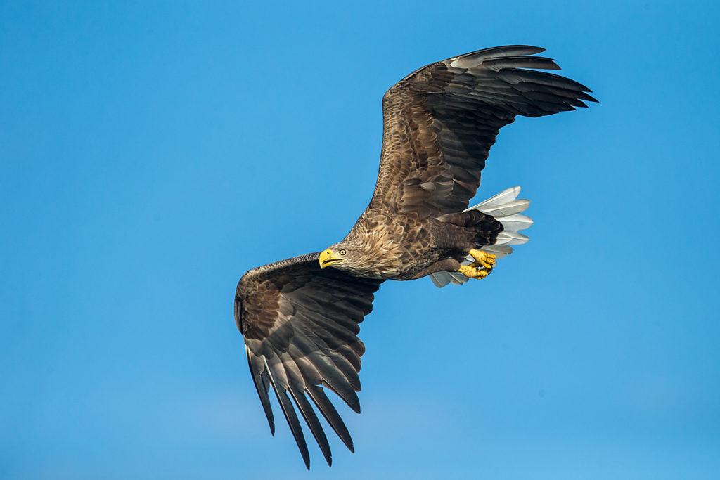 Accipitriformes; Haliaeetus albicilla; Seeadler; White-tailed Eagle; adler; birds; eagle; greifvögel; pröhl; raptors; vögel