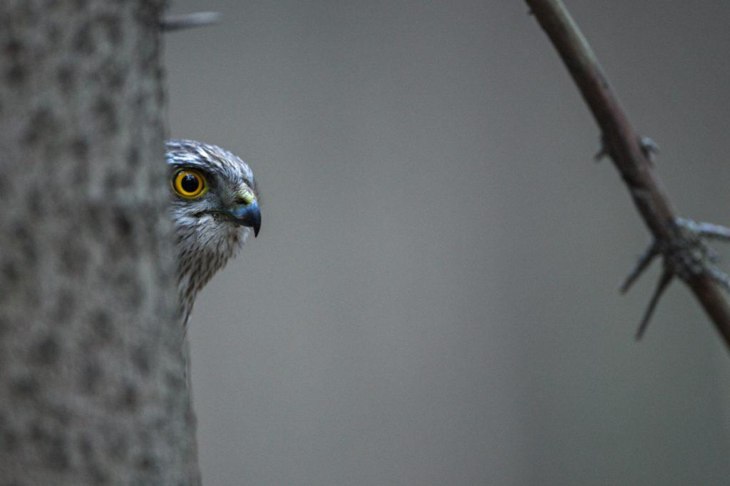 Accipiter nisus; Accipitriformes; Sparrowhawk; Sperber; birds; falconiformes; greifvögel; juv.; male; männchen; pröhl; raptors; vöge