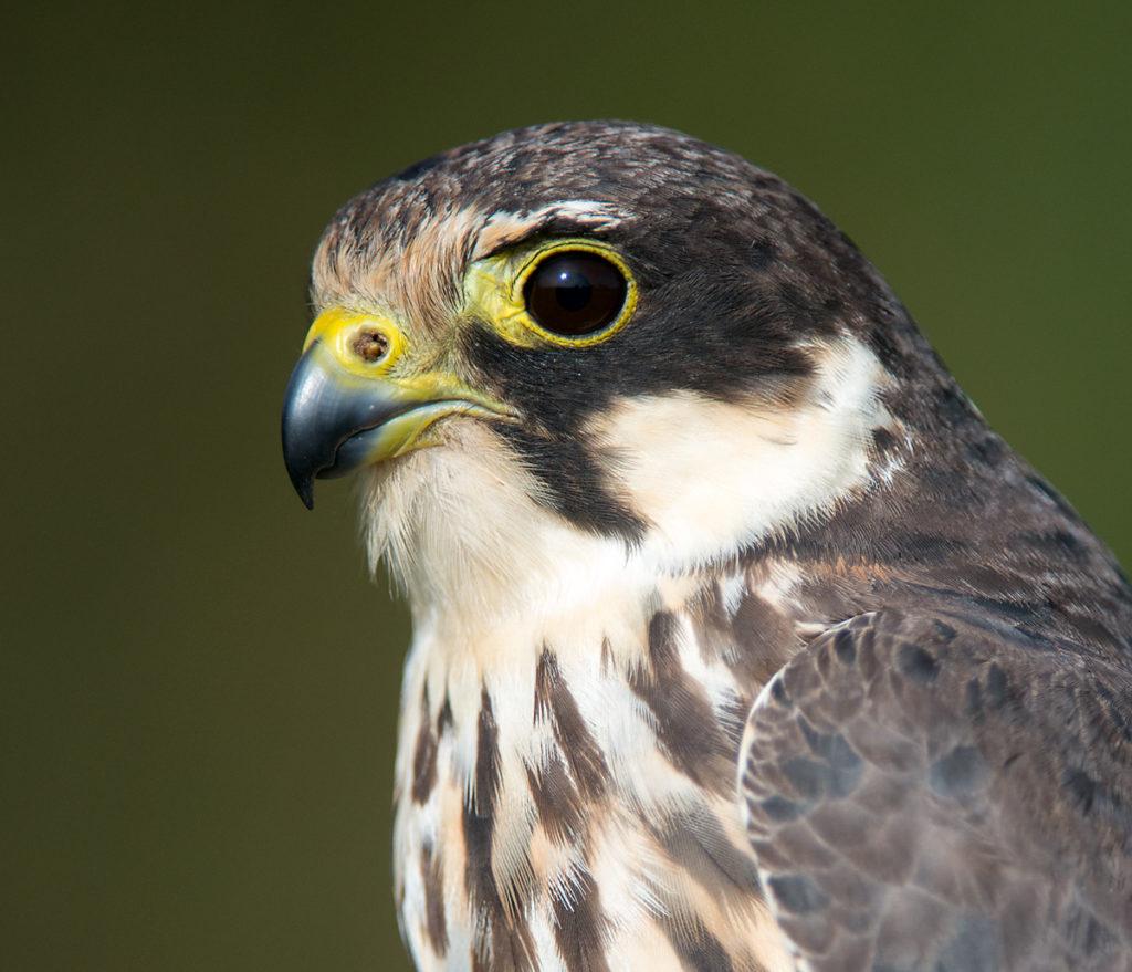 Baumfalke; Falco subbuteo; Hobby; birds; falconiformes; greifvögel; raptors; vögel