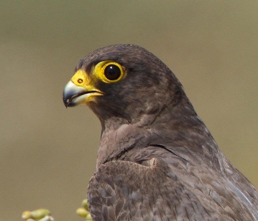 Falco concolor; Schieferfalke; Sooty Falcon; birds; falconiformes; greifvögel; pröhl; raptors; vögel